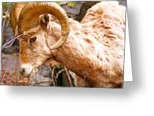 Thompson Falls Ram Greeting Card
