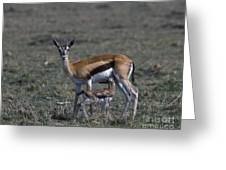Thomson Gazelle And Newborn Calf Greeting Card