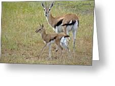 Thomsons Gazelle Greeting Card
