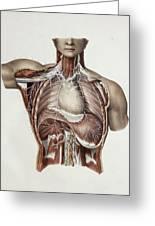 Thoracic Nerves, 1844 Artwork Greeting Card