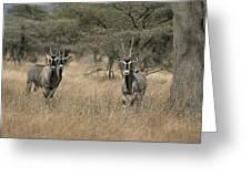 Three Beisa Oryxes In Kenyas Samburu Greeting Card