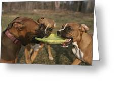 Three Boxer Dogs Play Tug-of-war Greeting Card