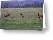 Three Bull Elk Greeting Card