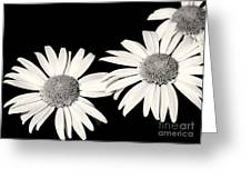 Three Daisy Amigos Greeting Card