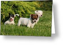 Three Jack Russell Terrier Puppies Greeting Card