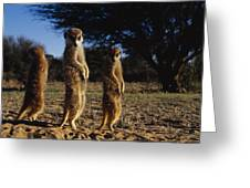Three Meerkats With Paws Poised Neatly Greeting Card