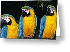 Three Parrots Greeting Card