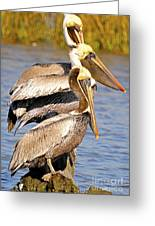 Three Pelicans On A Stump Greeting Card