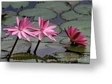 Three Sweet Pink Water Lilies Greeting Card