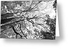 Three Trees Reach For The Sky Black And White Greeting Card