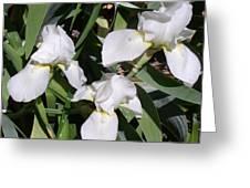 Three White Iris Greeting Card
