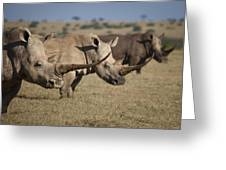 Three White Rhinos Line Up In Solio Greeting Card