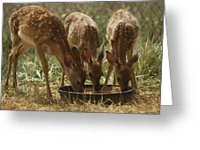Three White-tailed Deer Fawns Greeting Card