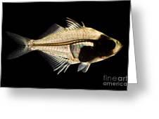 Tibetan Glassfish Greeting Card