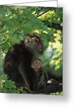 Tibetan Macaque Nursing Baby Greeting Card