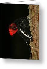 Tidying Up - Magellanic Woodpecker Preening Greeting Card