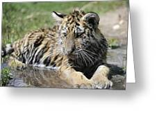Tiger Cub In A Puddle Greeting Card