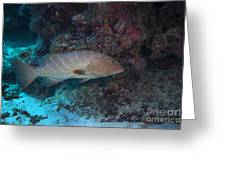 Tiger Grouper Swimming Along The Bottom Greeting Card