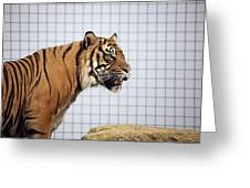 Tiger In Captivity Greeting Card