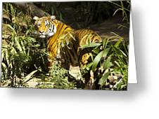 Tiger In The Rough Greeting Card