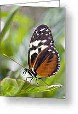 Tiger Longwing Butterfly Heliconius Greeting Card