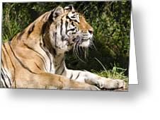 Tiger Observations Greeting Card