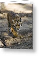 Tiger Panthera Tigris Cub, Native Greeting Card