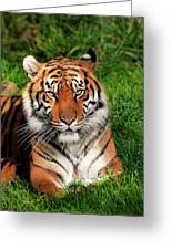 Tiger Sitting In The Grass Greeting Card