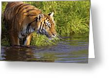 Tiger Standing In Water Greeting Card
