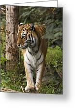 Tiger Walking Greeting Card
