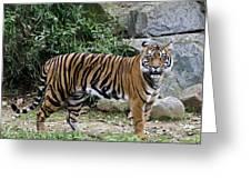 Tigers Glare Greeting Card