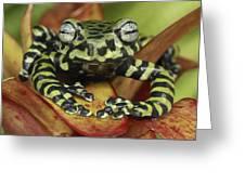 Tigers Treefrog Hyloscirtus Tigrinus Greeting Card