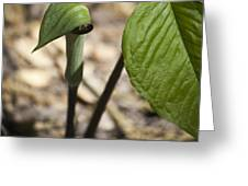 Tiny Jack In The Pulpit Greeting Card