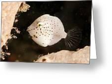 Tiny White Filefish With Small Black Greeting Card