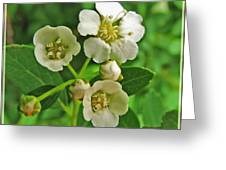 Tiny White Flowers Of A Bush Greeting Card