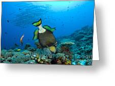 Titan Triggerfish Picking At Coral Greeting Card