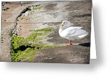 to swim or not to swim - A beautiful white duck ready to get into the sea or not Greeting Card