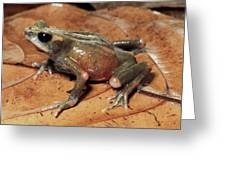 Toad Atelopus Senex On A Leaf Greeting Card