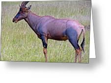 Topi Antelope Greeting Card
