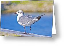 Topsail Seagull Greeting Card by Betsy Knapp