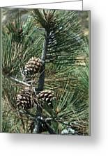 Torrey Pine Cones Greeting Card