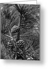 Torrey Pine Cones In Black And White Greeting Card