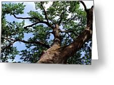 Towering Oak In Summer Greeting Card