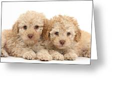 Toy Labradoodle Puppies Greeting Card