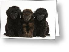 Toy Poodle Pups Greeting Card