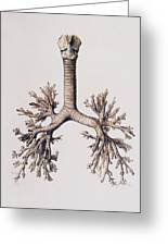 Trachea And Lung Bronchi Greeting Card