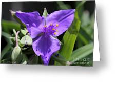 Tradescantia Named Andersonia Mauve Greeting Card