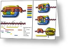Transcription Initiation Complex, Diagram Greeting Card by Art For Science