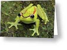Tree Frog Hyla Rubracyla, Colombia Greeting Card