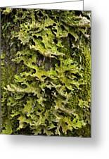 Tree Lungwort (lobaria Pulmonaria) Greeting Card